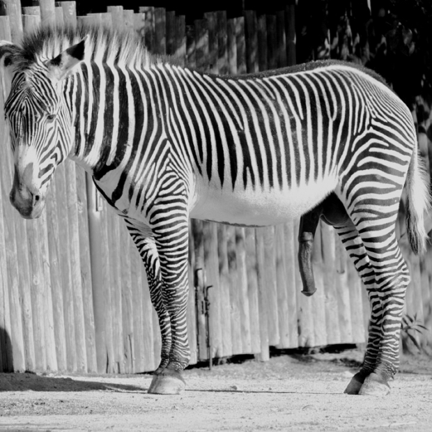 Zebra, by ©Gonzalo Bénard
