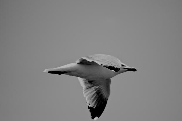 seagul, by Gonzalo Benard